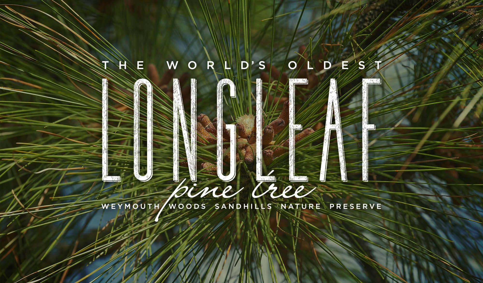 The World's Oldest Longleaf Pine Tree